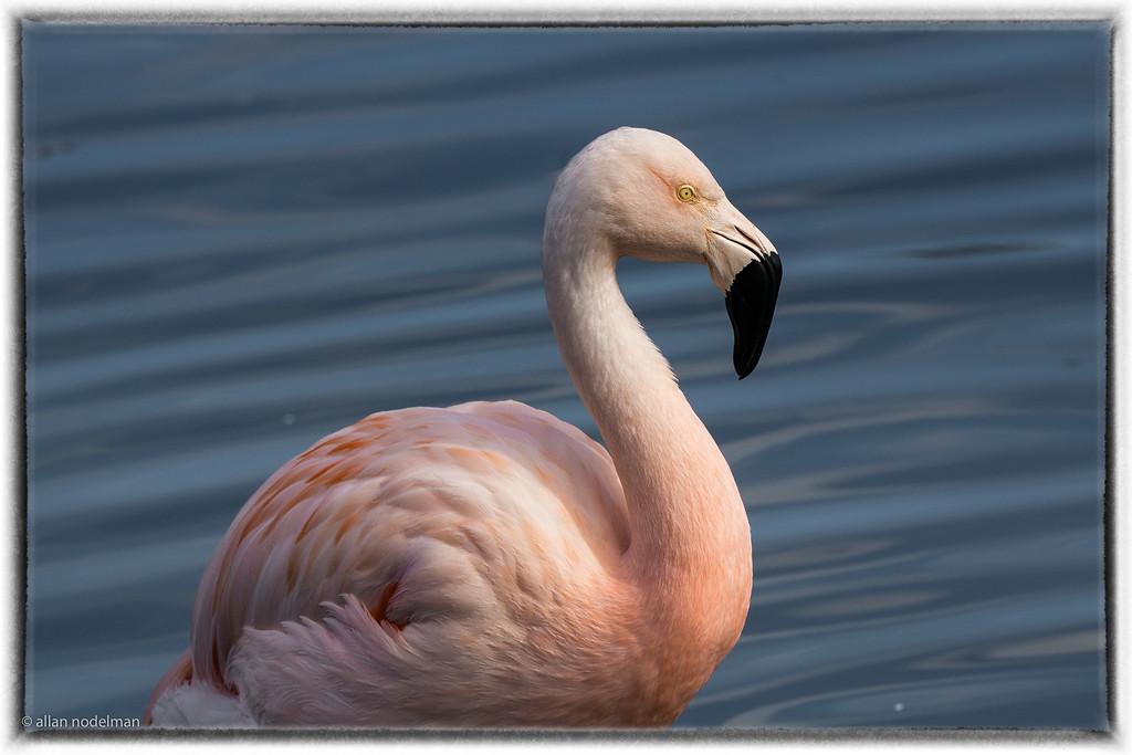 Palm Desert Flamingo at Marriott