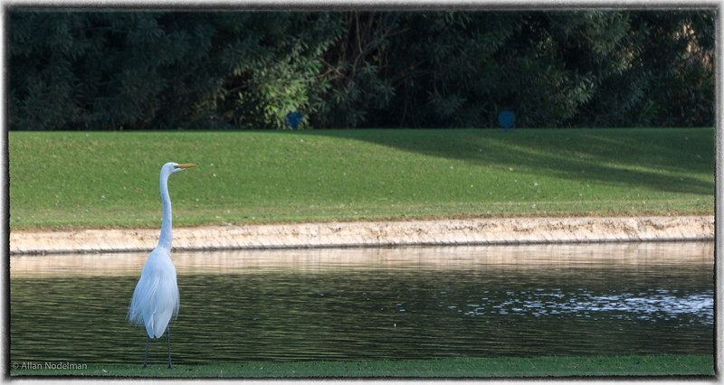White Heron at Orange Tree Golf Course