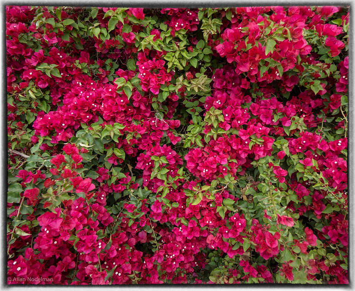 Large Bougainvillea in Scottsdale