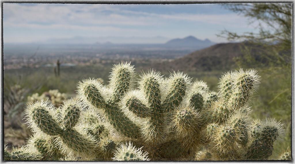 Cholla Cactus on Sunrise Trail