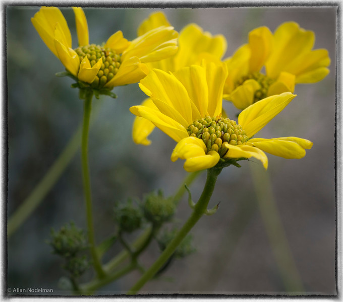 Blooming Brittle Bush