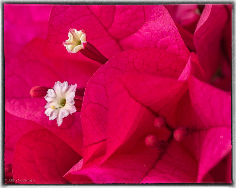 Bougainvillea Up Close