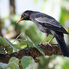 Gray winged blackbird
