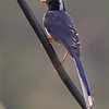 Red billed blue Magpie.