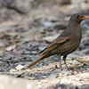 Gray winged blackbird Female.