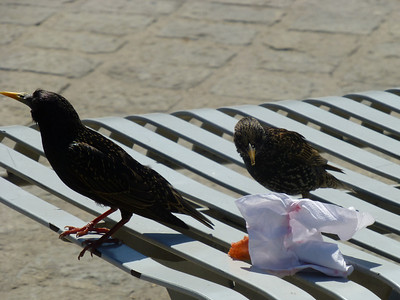 Starlings also can be hungry