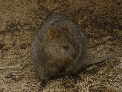 20060423_1931 Rottnest Island was discovered by the Dutch, who reported that is was filled with rats. The 'rats' were quokka, which are actually a marsupial.
