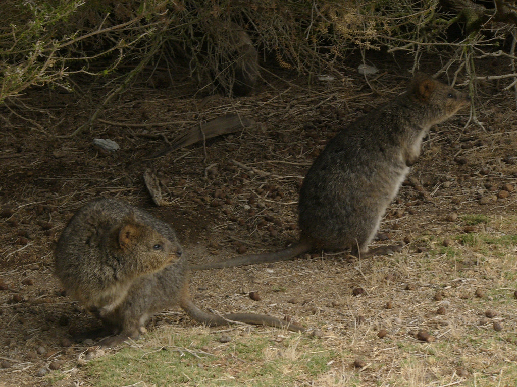 20060423_1934 Quokkas on Rottnest Island. There are now more quokkas on Rottnest Island than before Europeans came to Australia. This is because of extensive land-clearing on Rottnest Island, which has increased the amount of vegetation which the quokkas like to eat. In fact, it could be said that the quokkas are too numerous and suppressing certain types of vegetation on Rottnest Island.