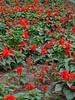 Lima_park_flowers