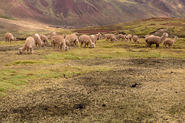 The lands are part of  the Chillihuani and Pampachiri communities. There are very few of them along the path and the land is used for growing animals.
