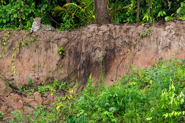 Jaguar watching our boat from the shore. Their population is thriving and sightings have increased in recent years.