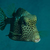 Trunkfish. Love these guys--the way they swim they make me think of little helicopters