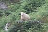 Sheep on a ledge