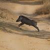 Wild boar runs across the path.