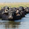 Water buffalos.