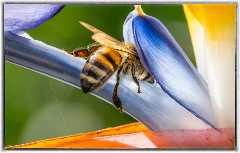 Bee on a Bird of Paradise