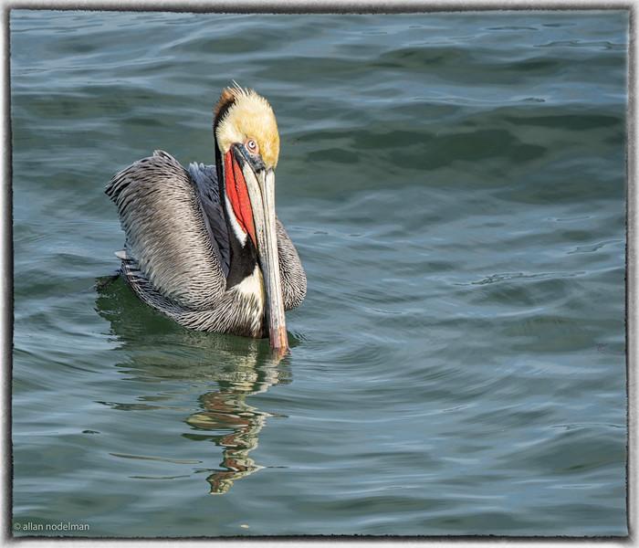 Ocean Beach Pelican