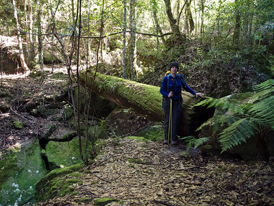 The track beside Quilty's Mtn in a dense rainforest area, once used by timber cutters to haul their valuable loads from the gullies surrounding Quilty's Mtn. This huge log is all that remains of a bridge constructed during that time.