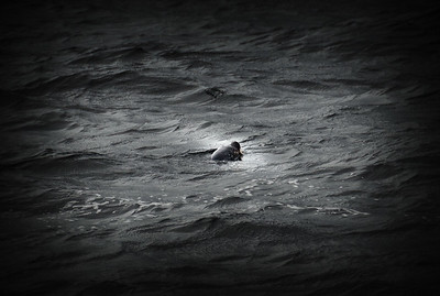A wild Seal sticking its head out of the water in Scotland