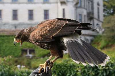 Dunrobin Castle Falconry Display 28 September 2018