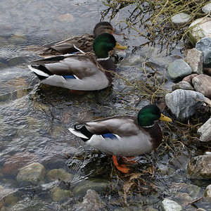 Scourie Ducks