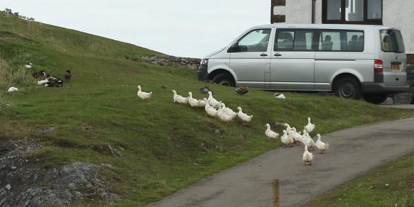 Appoaching Durness, ducks going for a walk