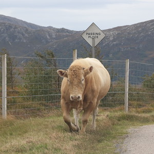 Bull in a passing place south of Laid on Loch Eriboll