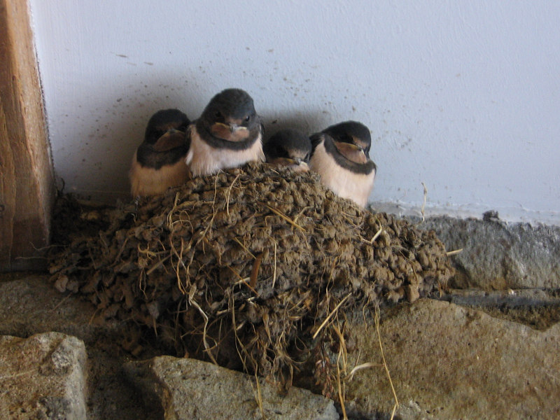 Swallows nesting in the toilets at Kilmartin!