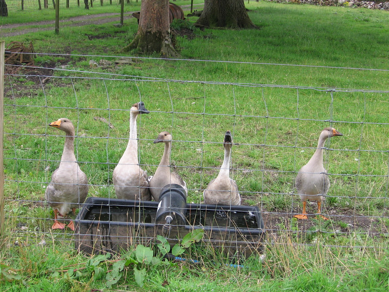 A Gaggle of Geese at Mains Farm, Carradale.
