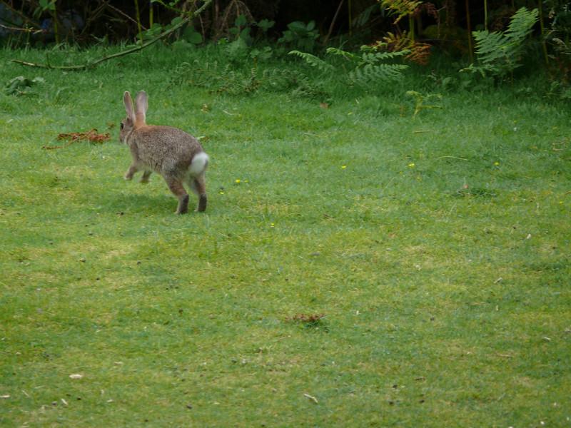 Carradale rabbit.