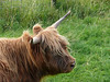 Highland Cow at Claonaig.