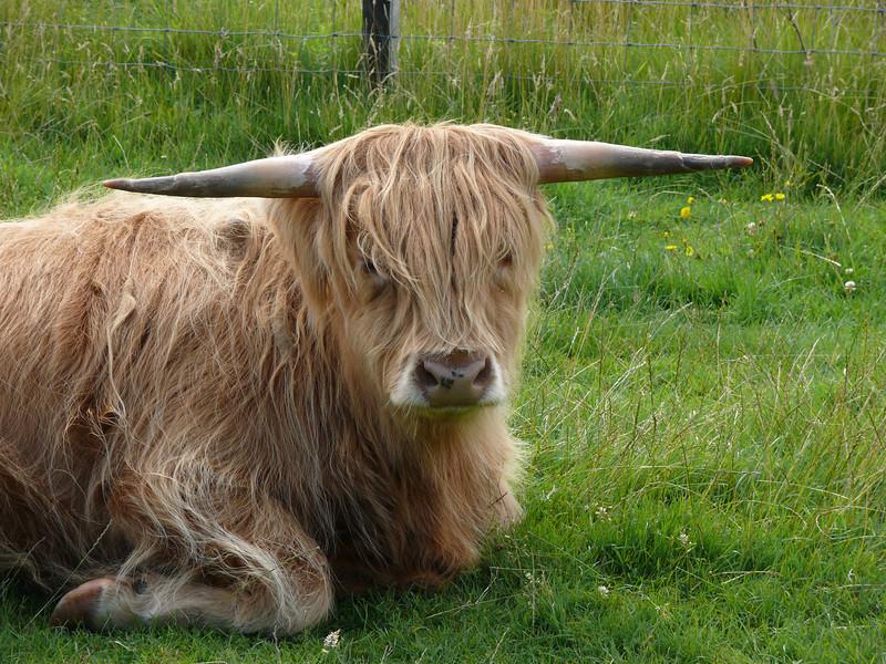 Highland Cow at Claonaig.