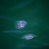 Carradale jellyfish