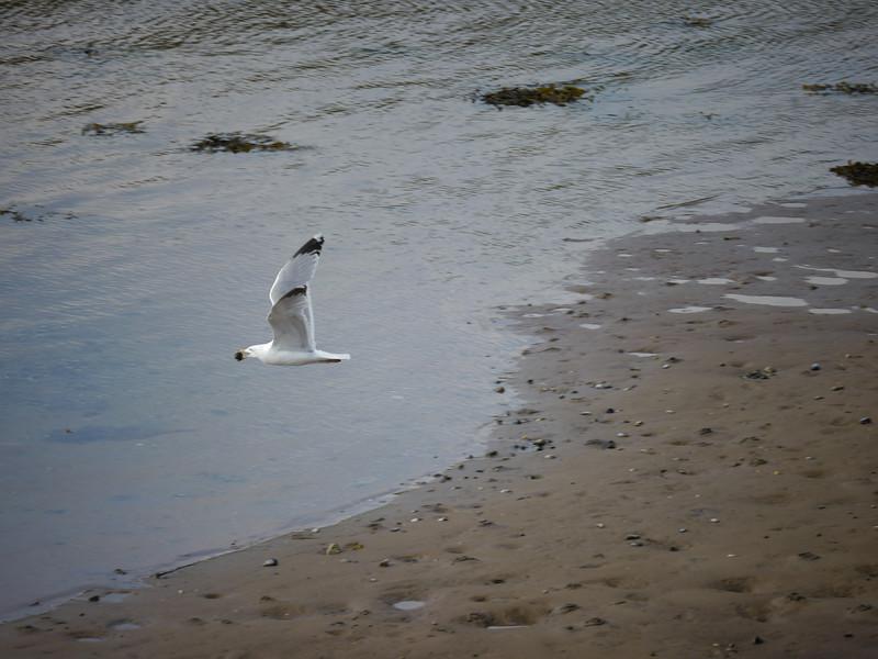Portavadie seagull