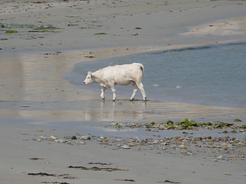 Cow on the beach.