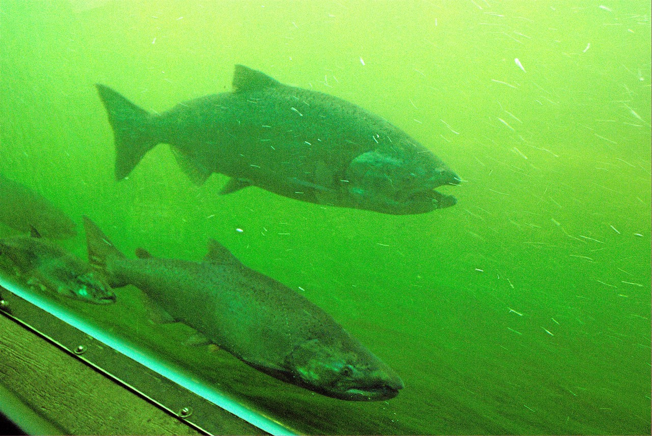 Ballard Locks Fish Ladder