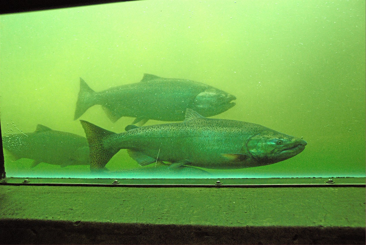 Ballard Locks Fish Ladder