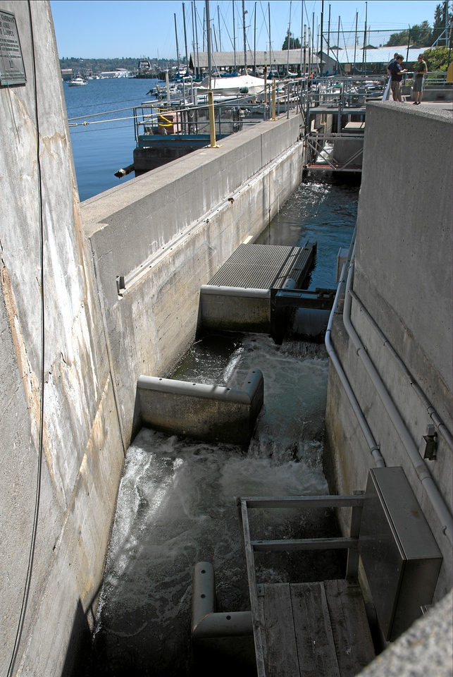 Fish Ladder, Ballard Locks