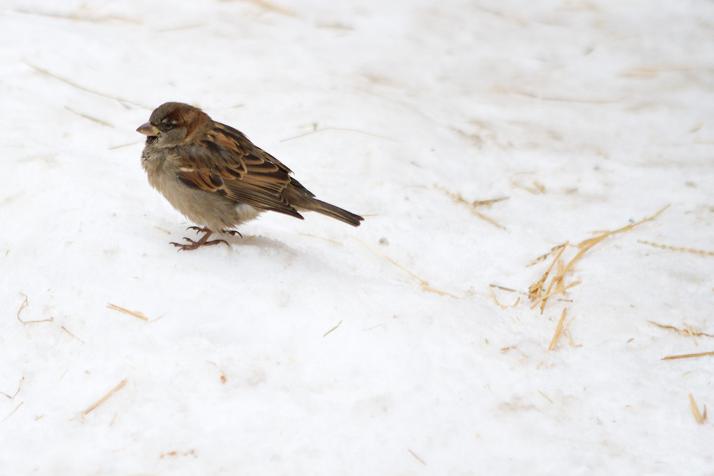 """Just a house sparrow spending some time outside of the """"house"""""""