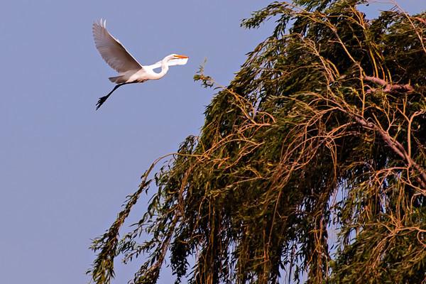 Solano County Egrets 2009