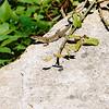 Gecko on Isle of Capri
