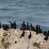More cormorants