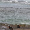 Not sure what these birds are, but that's the Indian Ocean in the background