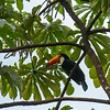A Toucan at the Iguazu Falls
