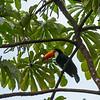 A Toucan at the Iguazu Falls