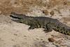 Chobe - Sunset Game Cruise - Yet Another Crocodile