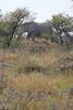 Etosha - Game Drive 2 - Elephant Behind Trees