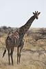 Etosha - Game Drive 2 - Yet More Giraffe (1)