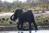 Kavango River - Nunda Lodge Game Drive - Elephant Taking Mud Bath 1