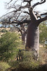 Kavango River - Nunda Lodge - Morning Game Drive - Big Tree (Baobab)